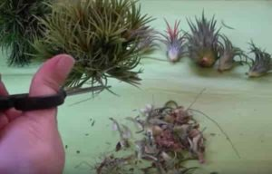 trimming air plant