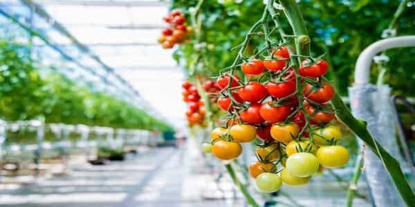 best grow lights for tomatoes