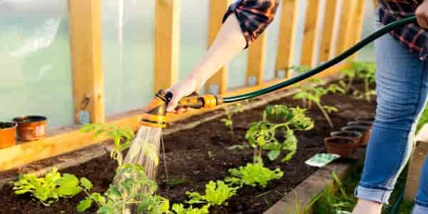 watering greenhouse plant