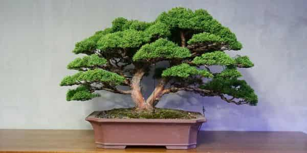 history of bonsai