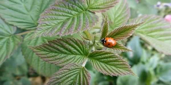 Use plants that attract ladybugs