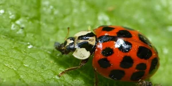 What do ladybugs eat