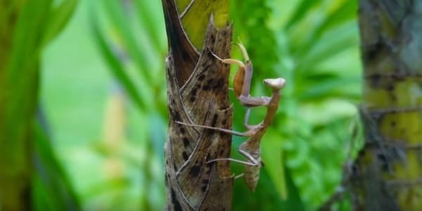 Find a praying mantis in your yard and attract them inside your garden