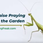 How to raise praying mantis in the garden