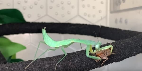 What does a praying mantis eat normally
