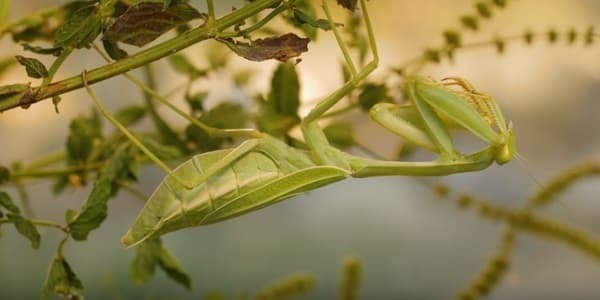 benefits of praying mantis in the garden