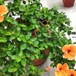 How to grow hibiscus from seed