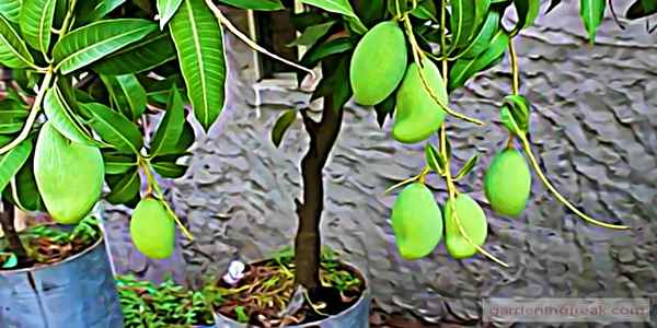 Growing Mango Tree in Pot