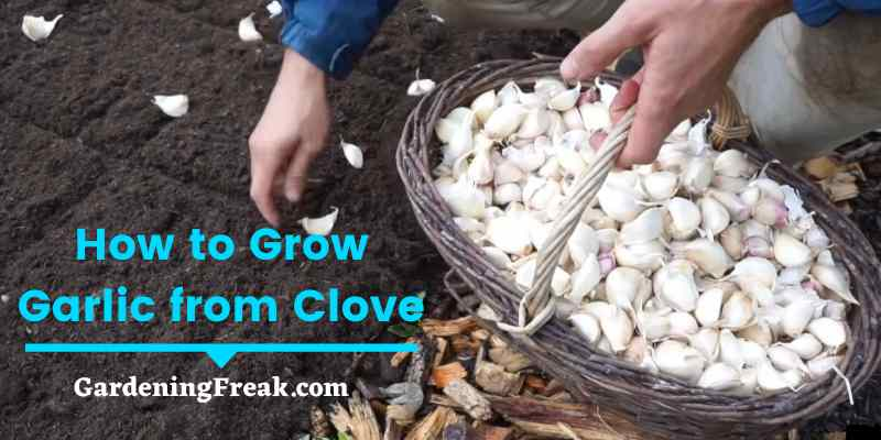 How to Grow Garlic from Clove