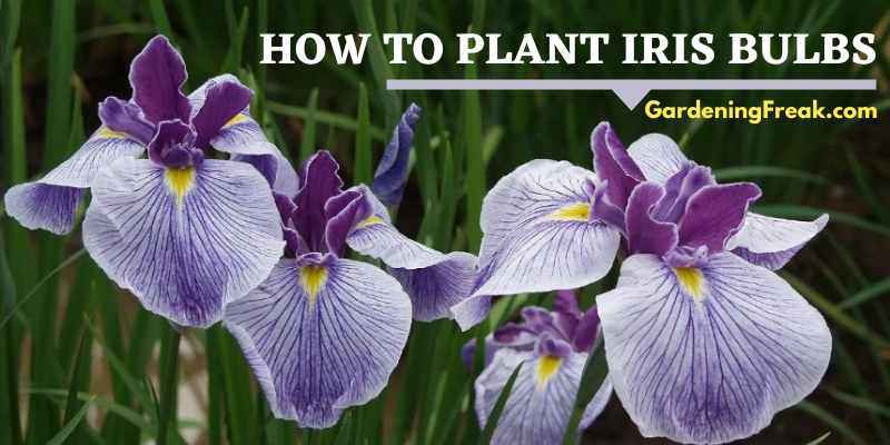 How to Plant Iris Bulbs