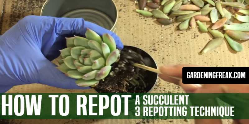 How to Repot a Succulent
