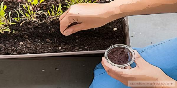 Sowing arugula seeds directly into the soil
