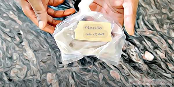 Wrap the  mango Seed with the Wet Paper Towel and Put it Inside a Plastic Bag