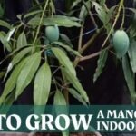 how to Grow a Mango Tree Indoors