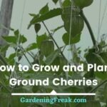 How to grow ground cherries