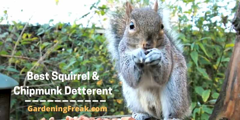 Best Squirrel and Chipmunk Deterrent