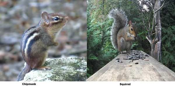 What's the differences between a Squirrel and a Chipmunk