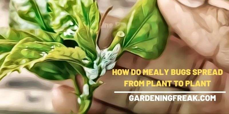how do mealy bugs spread from plant to plant